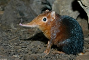 A super weird looking shrew.