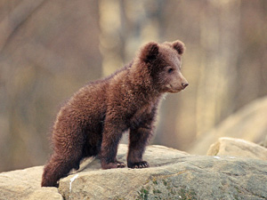 115235_Brown_bear_cub_thumbnail